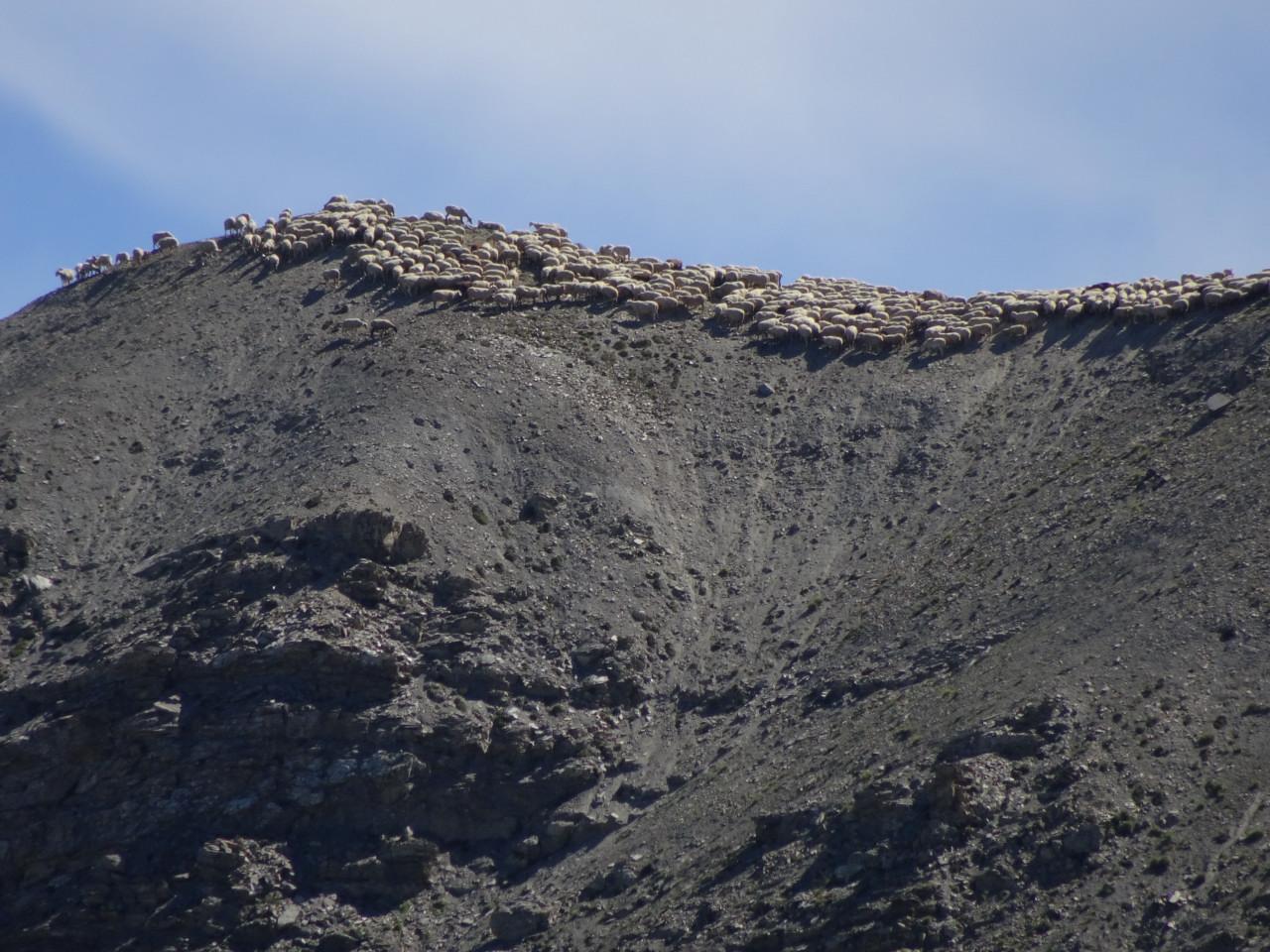 6/8/2016 le troupeau « chaume » à 2600m au Platasse sur la crête de Fouran.
