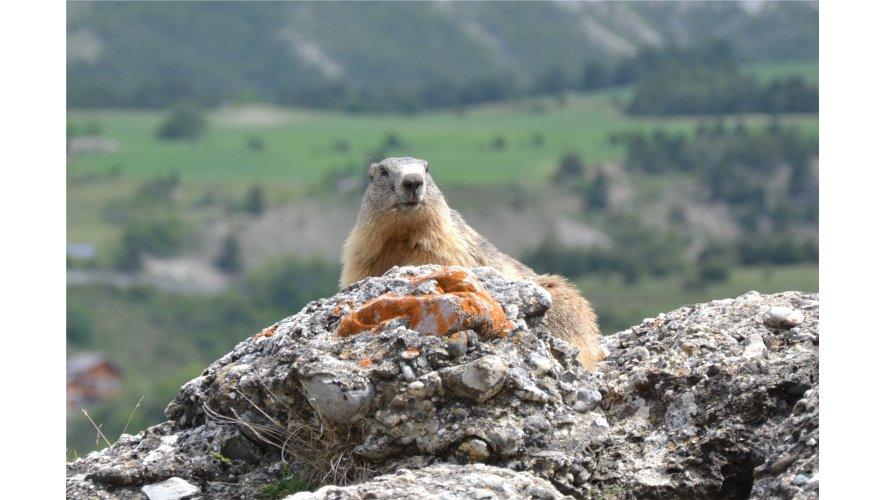 Marmotte du site d'Eygliers