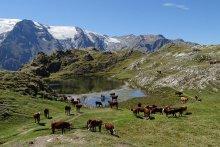 Photo N° 3 : Serge BETTON : Troupeau au lac Lériè (Plateau d'Emparis) devant les glaciers de la Girose et du Mont de Lans.